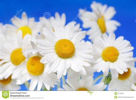 imagenes margaritas blancas margaritas blancas fotos de archivo imagen 2773133
