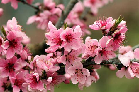 melo in fiore melo in fiore