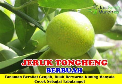 Bibit Tanaman Buah Jeruk Tongheng Kondisi Berbuah bibit jeruk tongheng berbuah jualbenihmurah