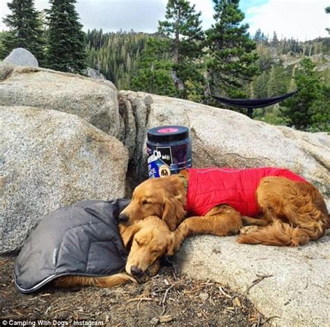 can golden retrievers stay in apartments cing with dogs instagram shows fed up pooches who had enough of hiking daily