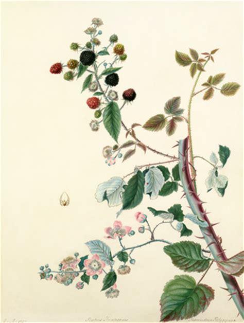 r fruticosus rubus fruticosus by margaret meen at royal horticultural