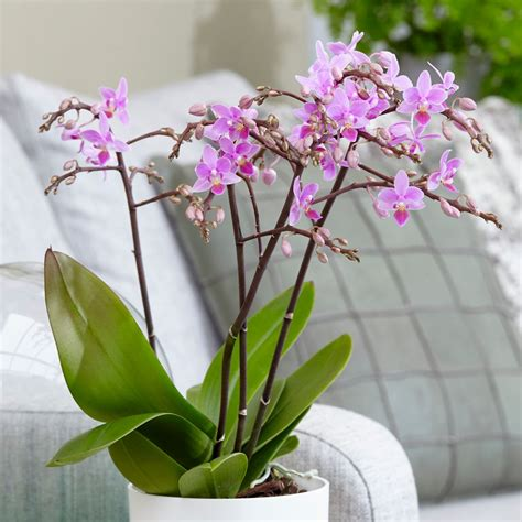 orchid delivery buy moth orchid phalaenopsis pink willd orchid delivery
