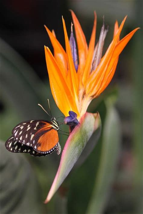 butterfly and bird of paradise butterflies pinterest