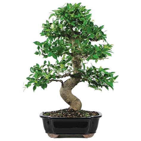Miniature Plants For Sale by Indoor Bonsai Trees