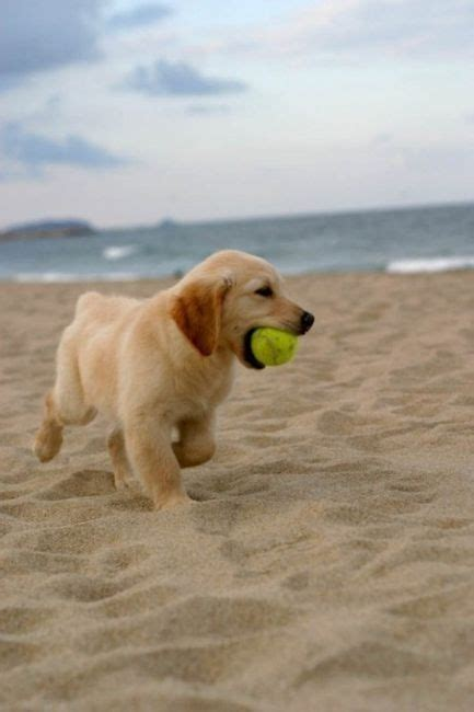 golden retriever puppies doing things golden retriever puppies are the absolute cutest things on earth can t wait to do