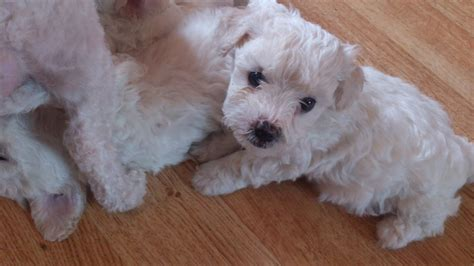 bichon frise puppies for adoption bichon frise puppies for sale spalding lincolnshire pets4homes