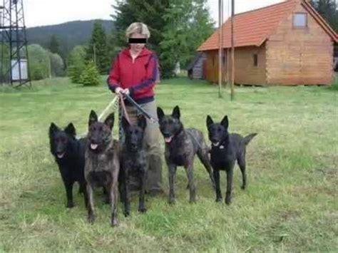 hollandse herder, holländischer schäferhund youtube