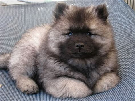 keeshond dogs of the jungle keeshond puppies