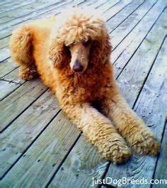 how to do a bob marley poodle cut on a dog rasta poodle poodle cuts clips styles pinterest