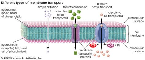 cell membrane  types  membrane transport