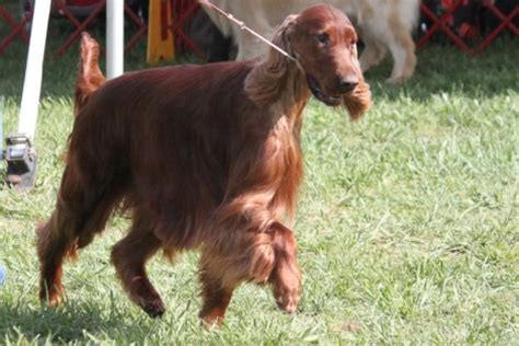 irish setter dog wiki irish setter breed information irish setter images irish