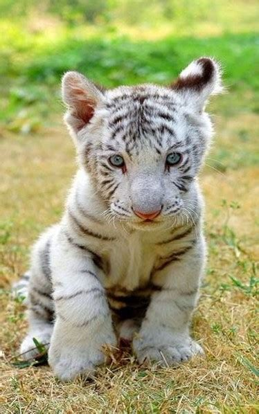 fotos animales tiernas im 225 genes de animales tiernos infantiles tigres de bengala