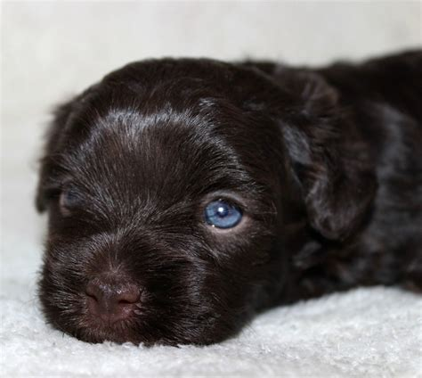 chocolate havanese puppies for sale havahug havanese puppies havahug havanese puppies of michigan