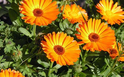 imagenes flores naranjas flores de color naranja fondos de pantalla flores de
