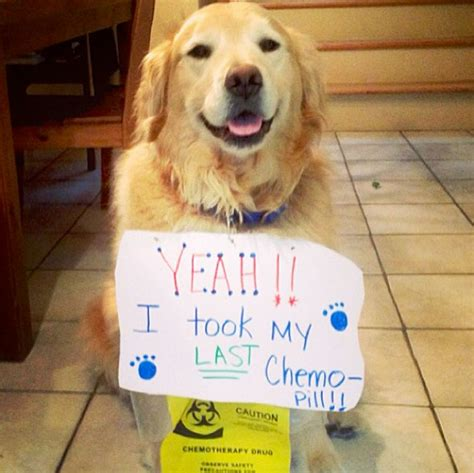 chemo for dogs 19 amazing wonderful strong who beaten cancer we salute you wow