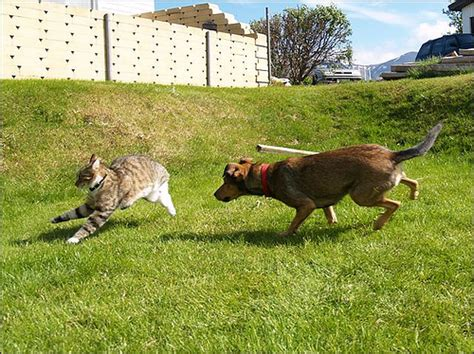 cat chases pin cat chases cslacker on