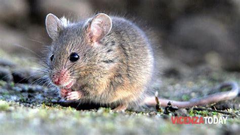 topi in casa cosa fare topi vicenza guida contro ratti 2013