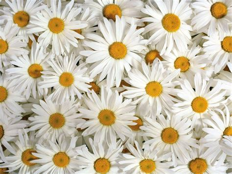 daisy wallpaper pinterest daisy flower wallpapers wallpaper cave