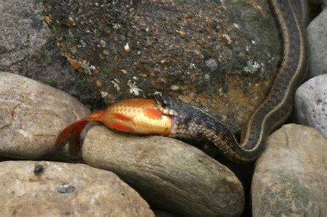 Garter Snake Eat Feeding Non Rodent Snakes Ultimate Exotics