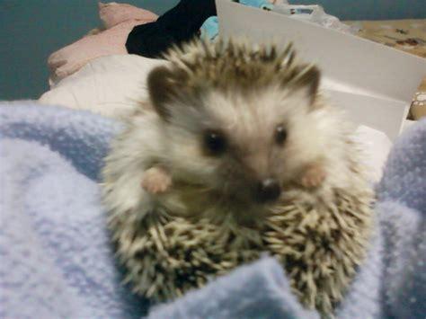 pet hedgehog best exotic pet hedgehogs pinterest