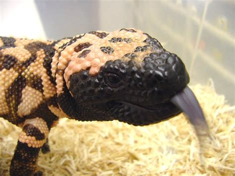 Reticulated Gila Monster