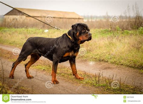 rottweiler beastiality rottweiler stock photo image of evil beast rock animal 53275026