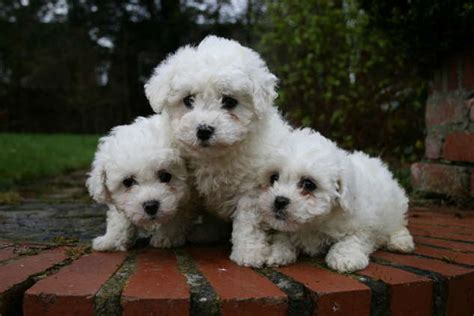 bichon frise puppies for adoption free puppies for adoption newhairstylesformen2014