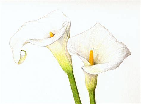 calla colors calla flower drawing color pencil calla lilies