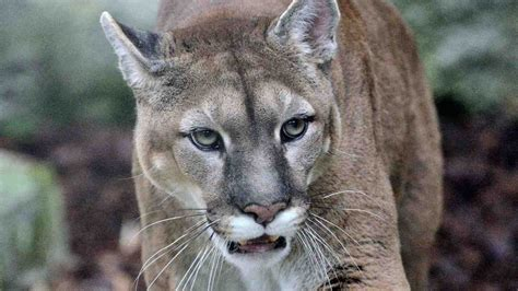 eastern cougars   prowled north america