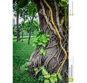 Liana Plant Creeping Royalty Free Stock Image  31341386