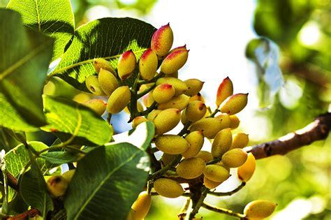 Di Grow the arid arborist and gardener nut trees for a