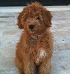 mini goldendoodles hypoallergenic golden doodle mini on goldendoodle haircuts