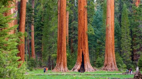 wallpaper sequoia giant trees people forest