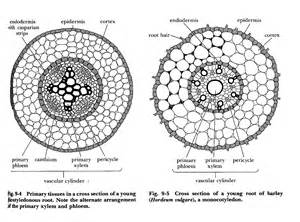 transverse section of xylem and phloem xylem and phloem in leaf quality images iphoto pick