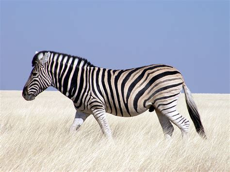 what color is a zebra black and white zebra colors photo 34705001 fanpop