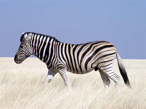 Google Images Zebra | google zebra ilyas al 199 ok