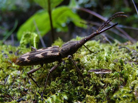 bbc nature giraffe weevil videos news and facts treknature giraffe weevil photo