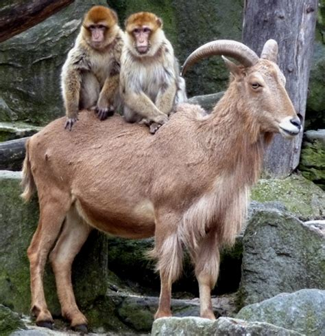 new year monkey and goat year of the goat for monkeys autos post