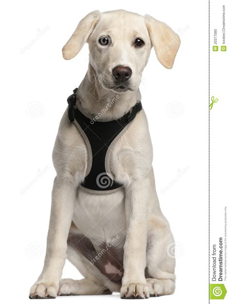 16 week puppy labrador retriever puppy 16 weeks sitting stock photo image 20377080