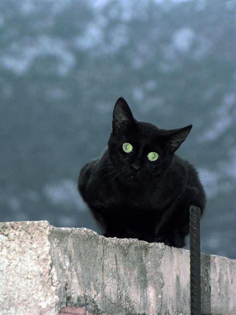 black cat file black cat in at delphi greece jpg wikimedia commons