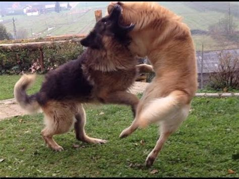 golden retriever vs german shepherd fight german shepherd vs golden retriever fight hd