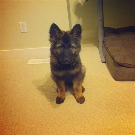 Fluffy German Shepherd Puppy Dogs