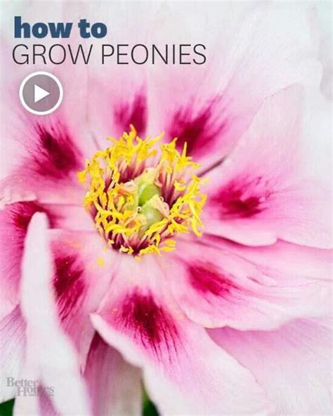 51 best images about growing peonies on pinterest flower