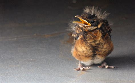 glamorous monk 187 baby robin rescue a happy bird report