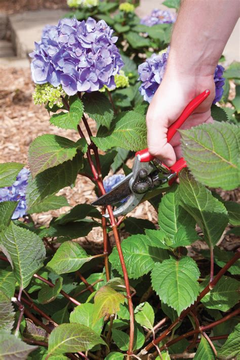 top 10 tips on how to plant grow and care for hydrangeas