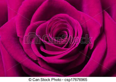 stock image of beautiful magenta rose close up image of