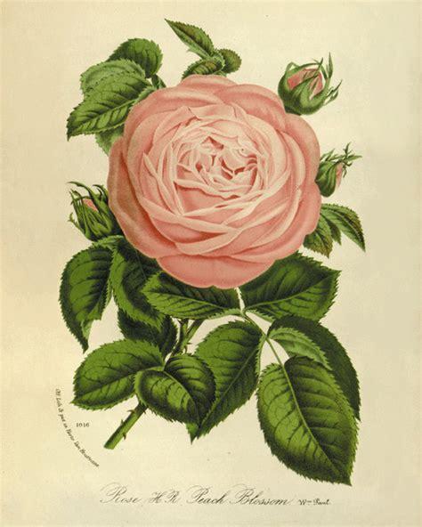antique rose botanical garden wall art print by pink rose art print vintage antique wall art pink flower art