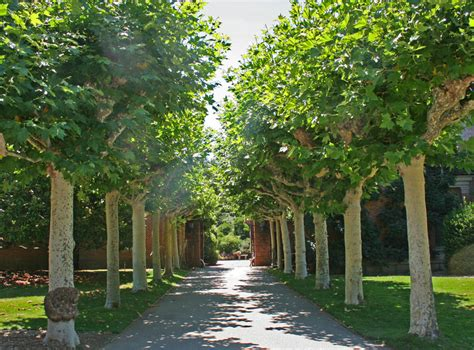 plane trees getting on your nose the truth about hay fever
