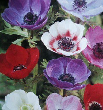 fiori anemoni foto anemoni coltivazione e usi