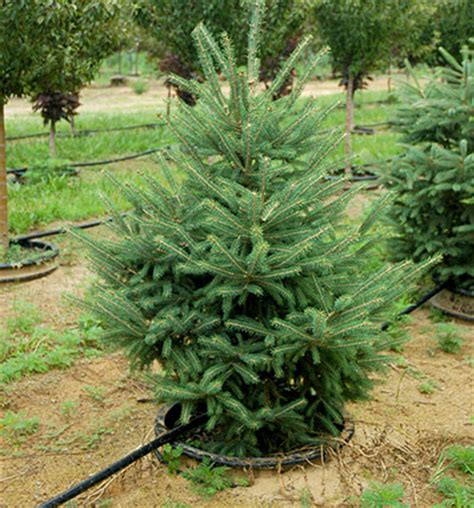 plantable tree 100 plantable tree ohio 19 best